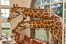 All God's Creatures ... Giraffe Manor, Nairobi, Kenya, Africa / by Jean Heavrin
