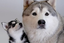 Huskies and their cousins / Born to run! / by Kim