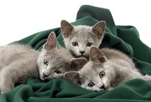 All God's Creatures ... The Russians Are Coming / I have had two Russian Blue cats in my life, Ashley and Haze, and they were such sweet and beautiful cats.  Russians hold a special place in my heart so I am giving them a Board of their own. / by Jean Heavrin