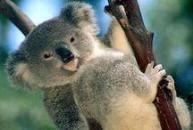 All God's Creatures ... Koala Kuties / by Jean Heavrin