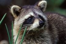 All God's Creatures ... Raccoons, Opossum, Porcupines and Meerkats / by Jean Heavrin
