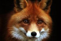 All God's Creatures ... Foxes, Coyotes and Wolves / by Jean Heavrin