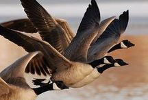 All God's Creatures ... Ducks, Geese and Swans / by Jean Heavrin