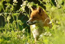 Foxy! Lady! / Foxes  / by Sarah Doyle