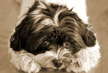 Millie / Millie is 7 year-old, Havanese person who loves long walks (as long as she's carried!), stomps her foot for attention, and refuses to do tricks.  #Dog #Havanese #cute #adoptdontshop