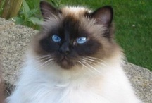 Cats / I have always been a cat lover but I'm partial to long haired cats. I hate the hair that has to be cleaned up but they are so pretty! I've had both long haired and short haired cats, but one of my most beautiful cats was a long haired Siamese. She looked a lot like a Ragdoll. (breed of cat) I also love Main Coons & Norwegian Forest Cats. / by MaryJane Perry Hall