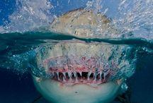 Sharks / My favourite pet
