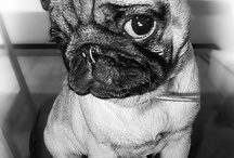 pug pics / by Kate Housner