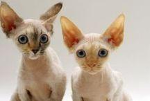 Oriental Shorthairs, Peterbalds - bat ears!