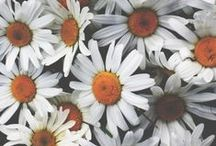 I Got This For You / Kathleen Kelly: I love daisies.  Joe Fox: You told me.  Kathleen Kelly: They're so friendly. Don't you think daisies are the friendliest flower? / by Adeeba Adams