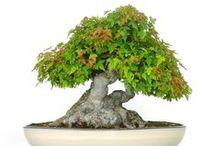 Ejemplares únicos Mistral Bonsai / Espectaculares Ejemplares de bonsái. Obras de Arte vivas. Pídenos más información en info@mistralbonsai.com