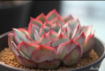 Succulent Sweetness / Succulent plants