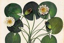 Botanical Prints & Illustrations / Vintage botanical sketches, drawings, and illustrations.