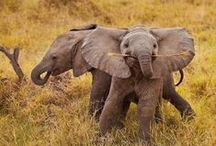 Elephants / Elephants are large mammals of the family Elephantidae and the order Proboscidea. Traditionally, two species were known, the African elephant and the Asian elephant, although some evidence suggests that African bush elephants and African forest elephants are separate species. Elephants are scattered throughout sub-Saharan Africa, and South and Southeast Asia. / by Jim Herbert