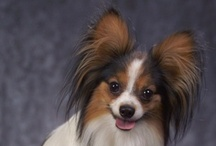 UtopianBob and other Papillons / My favorite Papillon dog is, of course, my own UtopianBob, who is waiting for me at the very top of the Rainbow Bridge. I follow every Papillon board that I can find, and I really look for them. / by KDrenna