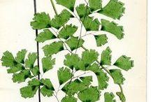 Botanical illustra
