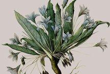 Herberiums ...Botanical illustration