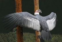 Andean Condor  / by Gisela Sedlmayer