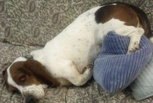 Basset Hound Love / by Brenda Jowers