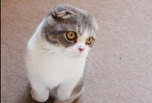 Scottish Folds!!! Oh how I love thee / by Leah Olivia Oliveira