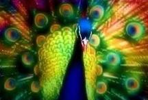 Peacock Portal