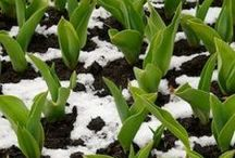 Garden Delights-Winter Gardening / Plants and how-to for winter gardening. / by Sassafras