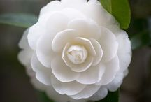 White flowers /   / by Bingley