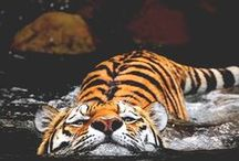Beautiful Big Cats / by Leah Cheney