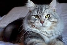 Our Siberian cats / Some photos of our Siberian & Neva Masquerade cats