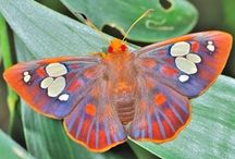Butterflies & Moths...* / For the beautiful butterflies and moths, .....I include caterpillars because they will turn into butterflies or moths some day....  / by Kim Callahan