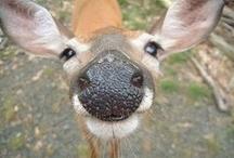It's whole HERD of 'em.....* / Deer, elk, goats, sheep, antelope, etc..... / by Kim Callahan