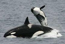 Aquatic Mammals!!!* / Whales, dolphins, seals, sea lions, walruses, manatees.....  / by Kim Callahan