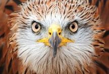 Majestic Birds of Prey.....* /  Birds of Prey....A general term applied to eagles, hawks, falcons, owls, and the osprey. Scientists include vultures in this category / by Kim Callahan
