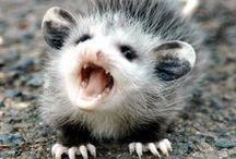 Possums, Coons & Skunks* / by Kim Callahan