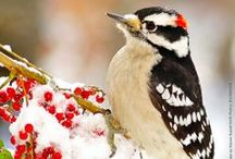 Nature's Jackhammers* / Woodpeckers and their relatives / by Kim Callahan