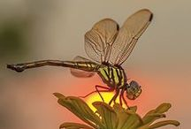 Dragons & Damsels!!* / Dragonflies and damselflies...  / by Kim Callahan