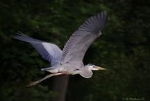 """Herons etc.--necks """"in""""... / Although herons & egrets resemble birds in some other families, such as the storks, ibises, spoonbills and cranes, they differ from these in flying with their necks retracted, not outstretched / by Kim Callahan"""