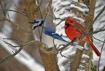 Jays & Cardinals* / 2 of my favorite birds! / by Kim Callahan