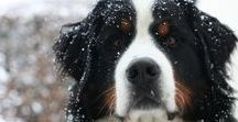 My Bernese Mountaindog
