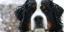 My Bernese Mountaindog