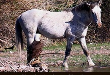Saving the Wild Horses of the Salt River / Help us keep the wild horses at the Salt River in the Tonto National Forest, Arizona.  Search Salt River Wild Horses on FaceBook.  #SaltRiverWildHorses
