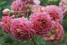 Roses / by Linda Xing