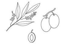 Cultivar - Varietà di Oliva in Italia / Italian varieties of olive / In Italia sono presenti 538 cultivar, circa il 42% del patrimonio mondiale. Ogni territorio o zona ha le sue varietà. In Italy there are 538 cultivars, about 42% of world heritage. Any territory or area has its own variety.