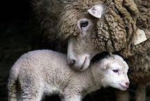 Wool / Beautiful sheep, raw wool, and clothing. Everything wool.