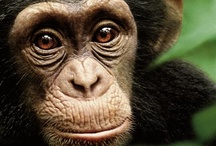 Great Apes / by JH Wildlife Film Festival