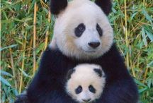 Pandas /  Not many Pandas exist in the wild anymore, extinction was becoming a reality. But due to many people and organizations worldwide, breeding in captivity is getting more and more successful.  / by Joyce Weinberg