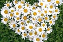 margherite - daisies
