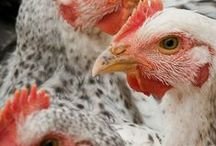 Chickens / Chickens and poultry information and DIYs. How to raise your own meat birds and backyard egg flocks.