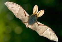 Murciélagos / Características sobre los murciélagos y algunos consejos y recomendaciones sobre como atraerlos a tu jardín o huerto. Más información en https://refugios.wnature.org/