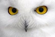 Aves Rapaces Nocturnas. Búhos, Lechuzas y Mochuelos. / Características sobre las aves rapaces nocturnas y algunos consejos y recomendaciones sobre como atraerlas a tu jardín o huerto. Más información en https://refugios.wnature.org
